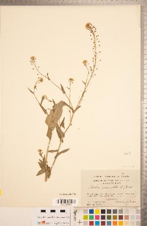 (Neslia - CCDB-18304-G10)  @11 [ ] Copyright (2015) Deb Metsger Royal Ontario Museum