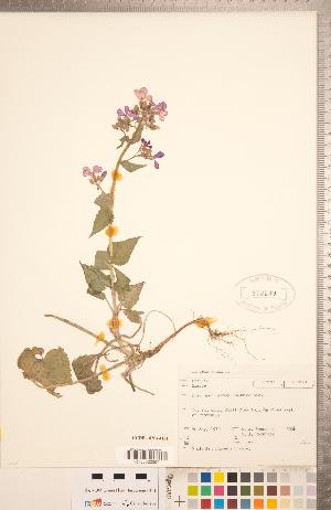 (Lunaria - CCDB-18304-H11)  @11 [ ] Copyright (2015) Deb Metsger Royal Ontario Museum