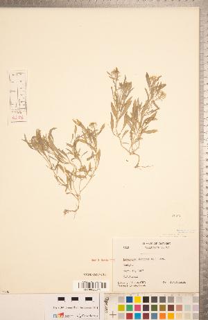 (Lobularia - CCDB-18304-F11)  @11 [ ] Copyright (2015) Deb Metsger Royal Ontario Museum