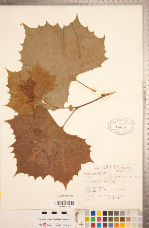 (Platanus occidentalis - CCDB-18313-E01)  @11 [ ] Copyright (2015) Deb Metsger Royal Ontario Museum