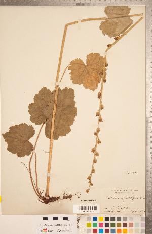 (Tellima - CCDB-18313-E02)  @11 [ ] Copyright (2015) Deb Metsger Royal Ontario Museum