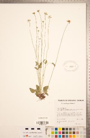 (Parnassia - CCDB-18313-D04)  @11 [ ] Copyright (2015) Deb Metsger Royal Ontario Museum