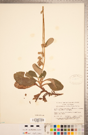 (Leptarrhena - CCDB-18313-B04)  @11 [ ] Copyright (2015) Deb Metsger Royal Ontario Museum