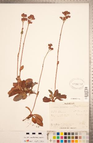 (Leptarrhena - CCDB-18313-A04)  @11 [ ] Copyright (2015) Deb Metsger Royal Ontario Museum