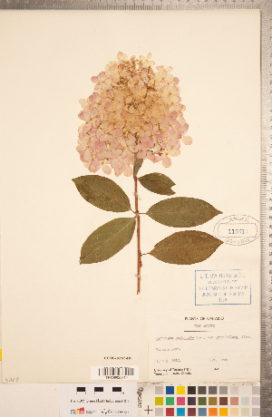 (Hydrangea - CCDB-18313-H05)  @11 [ ] Copyright (2015) Deb Metsger Royal Ontario Museum