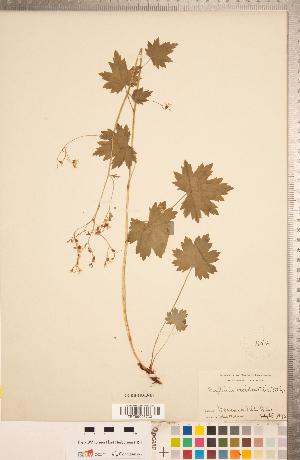 (Boykinia - CCDB-18313-E07)  @11 [ ] Copyright (2015) Deb Metsger Royal Ontario Museum