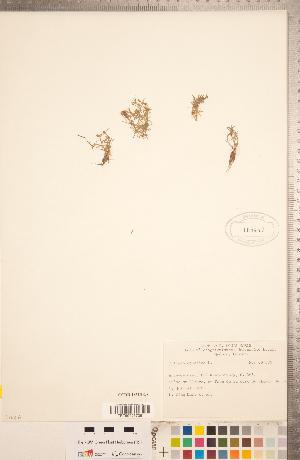 (Crassula aquatica - CCDB-18313-G08)  @11 [ ] Copyright (2015) Deb Metsger Royal Ontario Museum