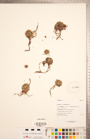 (Sempervivum - CCDB-18313-F08)  @11 [ ] Copyright (2015) Deb Metsger Royal Ontario Museum