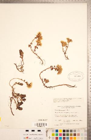 (Sedum divergens - CCDB-18313-D08)  @11 [ ] Copyright (2015) Deb Metsger Royal Ontario Museum