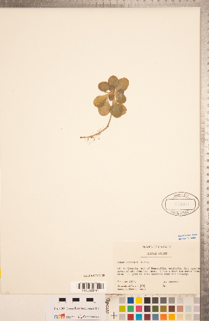 (Sedum ternatum - CCDB-18313-B08)  @11 [ ] Copyright (2015) Deb Metsger Royal Ontario Museum