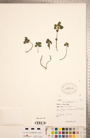 (Sedum ternatum - CCDB-18313-A08)  @11 [ ] Copyright (2015) Deb Metsger Royal Ontario Museum