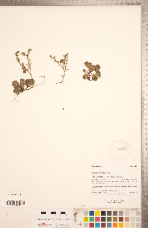 (Sedum hispanicum - CCDB-18313-E09)  @11 [ ] Copyright (2015) Deb Metsger Royal Ontario Museum