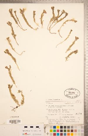 (Sedum hispanicum - CCDB-18313-D09)  @11 [ ] Copyright (2015) Deb Metsger Royal Ontario Museum