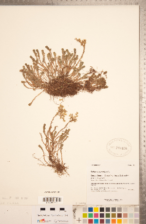 (Sedum sexangulare - CCDB-18313-B09)  @11 [ ] Copyright (2015) Deb Metsger Royal Ontario Museum