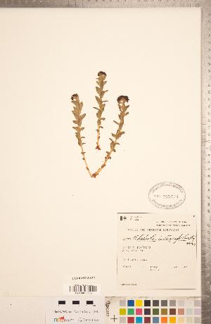 (Rhodiola - CCDB-18313-H10)  @11 [ ] Copyright (2015) Deb Metsger Royal Ontario Museum