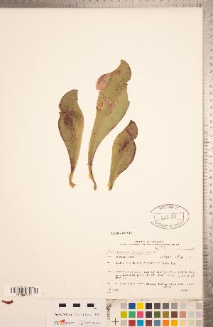 (Sarracenia - CCDB-18313-H11)  @11 [ ] Copyright (2015) Deb Metsger Royal Ontario Museum