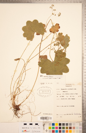 (Alchemilla xanthochlora - CCDB-18313-F11)  @11 [ ] Copyright (2015) Deb Metsger Royal Ontario Museum