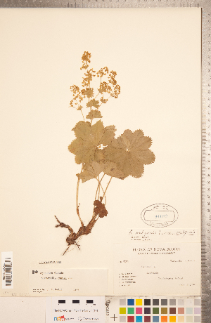 (Alchemilla venosa - CCDB-18313-D11)  @11 [ ] Copyright (2015) Deb Metsger Royal Ontario Museum