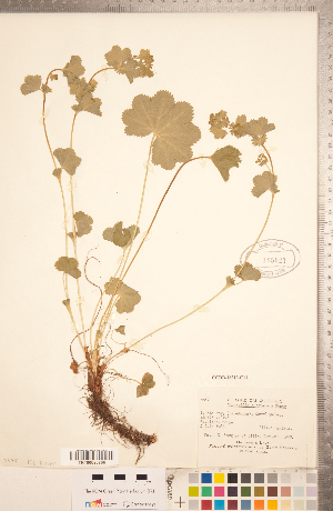 (Alchemilla subcrenata - CCDB-18313-C11)  @11 [ ] Copyright (2015) Deb Metsger Royal Ontario Museum