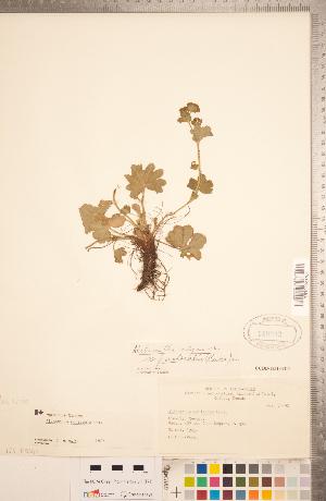(Alchemilla monticola - CCDB-18313-B11)  @11 [ ] Copyright (2015) Deb Metsger Royal Ontario Museum