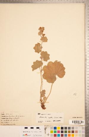 (Alchemilla mollis - CCDB-18313-H12)  @11 [ ] Copyright (2015) Deb Metsger Royal Ontario Museum