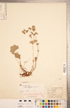 (Alchemilla filicaulis subsp. filicaulis - CCDB-18313-G12)  @11 [ ] Copyright (2015) Deb Metsger Royal Ontario Museum