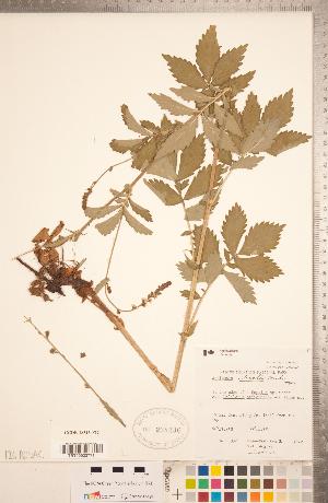 (Agrimonia striata - CCDB-18313-F12)  @11 [ ] Copyright (2015) Deb Metsger Royal Ontario Museum