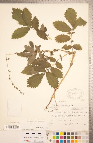 (Agrimonia pubescens - CCDB-18313-B12)  @11 [ ] Copyright (2015) Deb Metsger Royal Ontario Museum