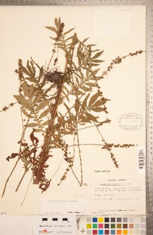 (Agrimonia parviflora - CCDB-18317-H01)  @11 [ ] Copyright (2015) Deb Metsger Royal Ontario Museum
