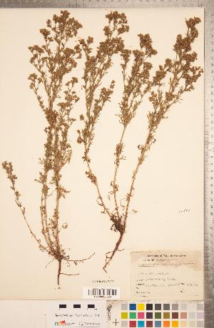 (Chamaerhodos - CCDB-18317-C02)  @11 [ ] Copyright (2015) Deb Metsger Royal Ontario Museum