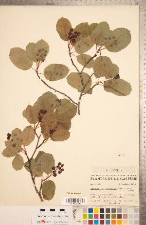 (Amelanchier gaspensis - CCDB-18317-F04)  @11 [ ] Copyright (2015) Deb Metsger Royal Ontario Museum