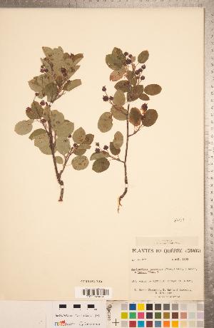 (Amelanchier gaspensis - CCDB-18317-E04)  @11 [ ] Copyright (2015) Deb Metsger Royal Ontario Museum