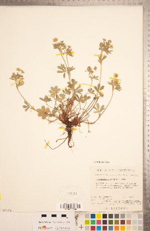 (Potentilla thuringiaca - CCDB-18317-D04)  @11 [ ] Copyright (2015) Deb Metsger Royal Ontario Museum