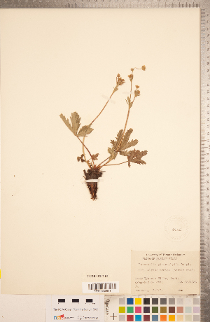(Potentilla glaucophylla - CCDB-18317-F05)  @11 [ ] Copyright (2015) Deb Metsger Royal Ontario Museum