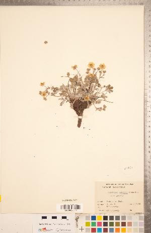 (Potentilla concinna - CCDB-18317-E05)  @11 [ ] Copyright (2015) Deb Metsger Royal Ontario Museum