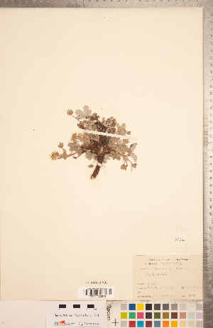 (Potentilla concinna - CCDB-18317-D05)  @11 [ ] Copyright (2015) Deb Metsger Royal Ontario Museum