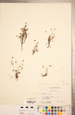 (Potentilla verna - CCDB-18317-H06)  @11 [ ] Copyright (2015) Deb Metsger Royal Ontario Museum