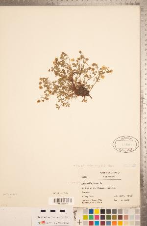 (Potentilla verna - CCDB-18317-F06)  @11 [ ] Copyright (2015) Deb Metsger Royal Ontario Museum