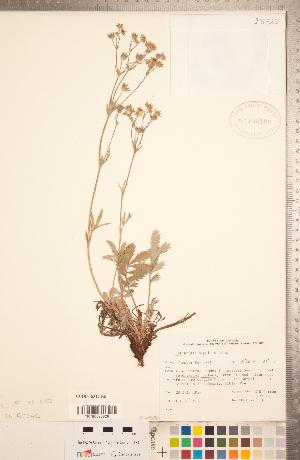 (Potentilla hippiana - CCDB-18317-E06)  @11 [ ] Copyright (2015) Deb Metsger Royal Ontario Museum
