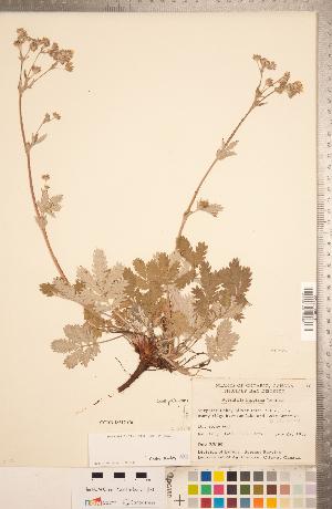 (Potentilla hippiana - CCDB-18317-C06)  @11 [ ] Copyright (2015) Deb Metsger Royal Ontario Museum