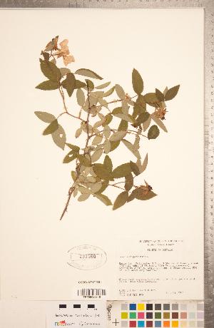 (Rosa setigera - CCDB-18317-H10)  @11 [ ] Copyright (2015) Deb Metsger Royal Ontario Museum