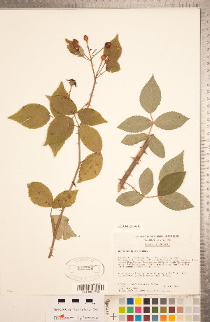 (Rosa setigera - CCDB-18317-G10)  @11 [ ] Copyright (2015) Deb Metsger Royal Ontario Museum