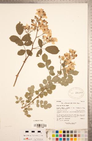 (Rosa multiflora - CCDB-18317-E10)  @11 [ ] Copyright (2015) Deb Metsger Royal Ontario Museum