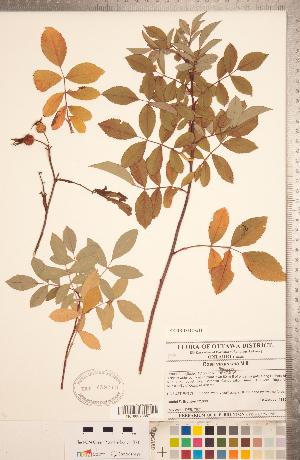 (Rosa virginiana - CCDB-18317-G11)  @11 [ ] Copyright (2015) Deb Metsger Royal Ontario Museum