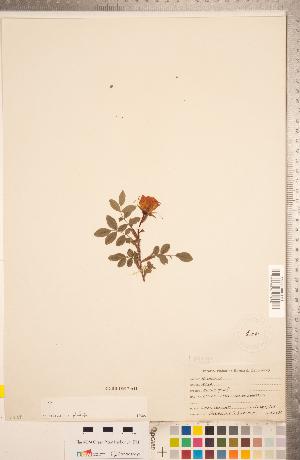 (Rosa nitida - CCDB-18317-A11)  @11 [ ] Copyright (2015) Deb Metsger Royal Ontario Museum