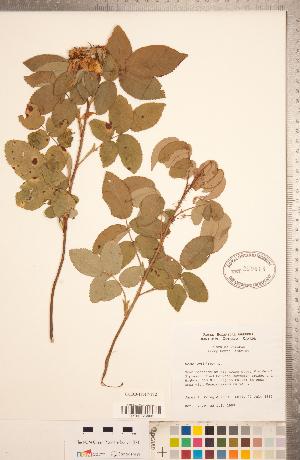 (Rosa gallica - CCDB-18317-F12)  @11 [ ] Copyright (2015) Deb Metsger Royal Ontario Museum