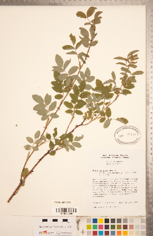 (Rosa majalis - CCDB-18317-C12)  @11 [ ] Copyright (2015) Deb Metsger Royal Ontario Museum