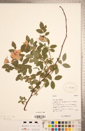 (Rosa cinnamomea - CCDB-18317-B12)  @11 [ ] Copyright (2015) Deb Metsger Royal Ontario Museum