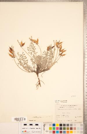 (Astragalus missouriensis - CCDB-20330-H01)  @11 [ ] Copyright (2015) Deb Metsger Royal Ontario Museum