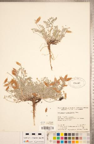 (Astragalus missouriensis - CCDB-20330-G01)  @11 [ ] Copyright (2015) Deb Metsger Royal Ontario Museum